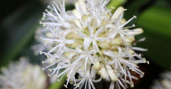 Ý nghĩa phong thủy của loài hoa Thiết Mộc Lan